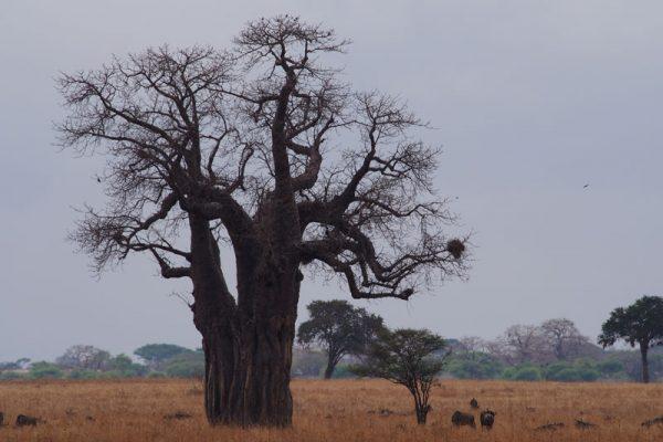 Eindruck-Baobap