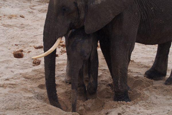 Eindruck-Elefanten